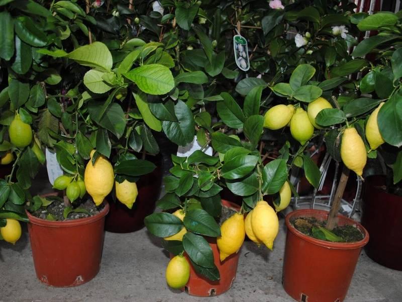 Попробуйте вырастить дома лимон мейера