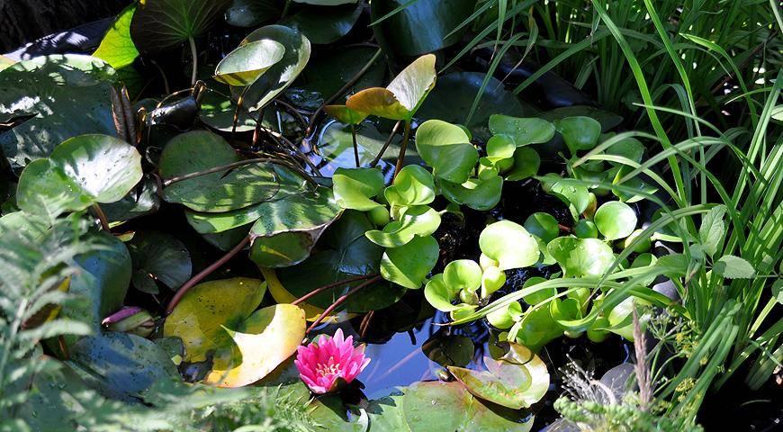 Эйхорния водный гиацинт