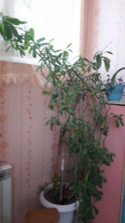 Технология размножения замиокулькаса в домашних условиях