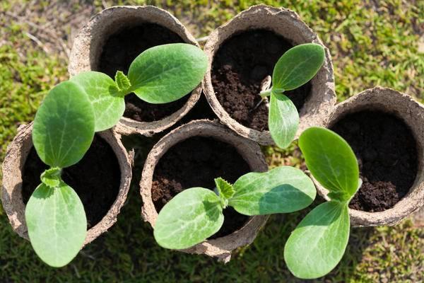 Посадка тыквы в 2020 году: сроки посева, выращивание и уход