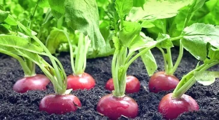Посев и выращивание редиса в теплице и в открытом грунте