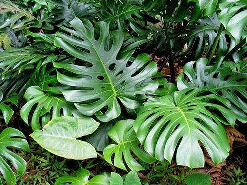 Непростой характер и яркая внешность ароидных комнатных растений