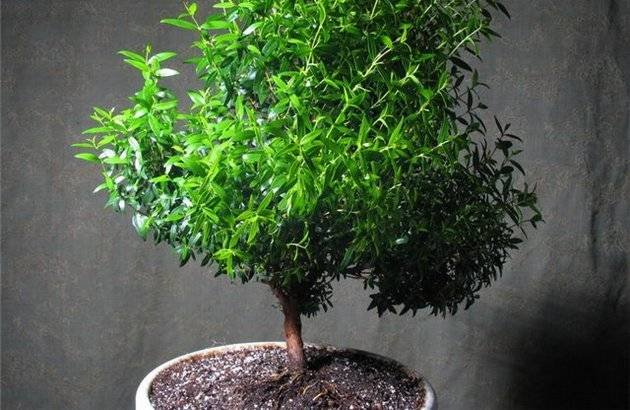 Полезные свойства растения и масла мирт, как применять