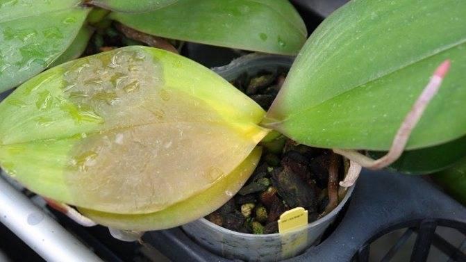 Почему желтеют листья у орхидеи: разные случаи и болезни