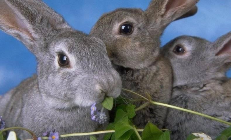 Можно ли кролику давать крапиву: как правильно добавить в рацион, польза и вред