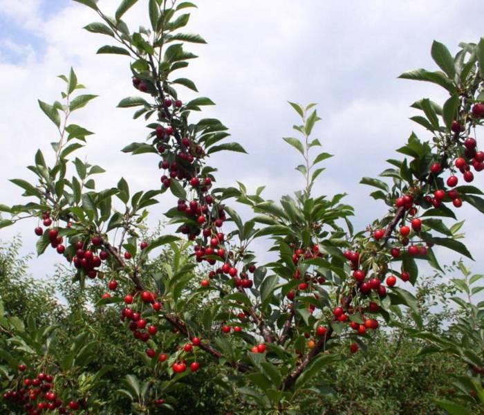 Вишня Тургеневка, описание сорта, фото, отзывы