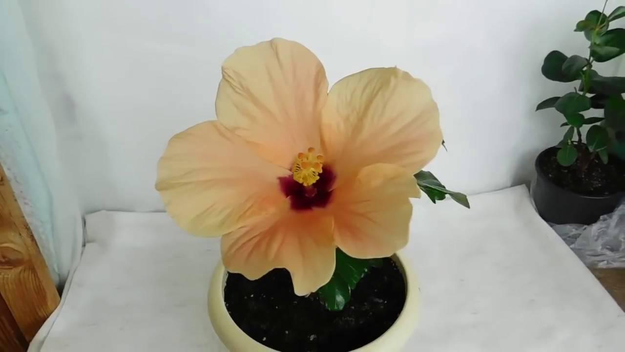 Китайская роза или гибискус комнатный: уход в домашних условиях, период цветения и покоя, особенности посезонного содержания цветка