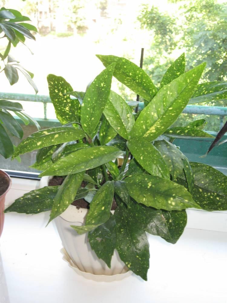 Аукуба: описание, уход в домашних условиях и размножение
