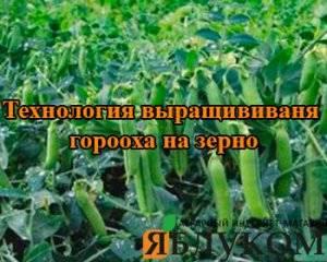 Посадка гороха в 2020 году: сроки посева, выращивание и уход