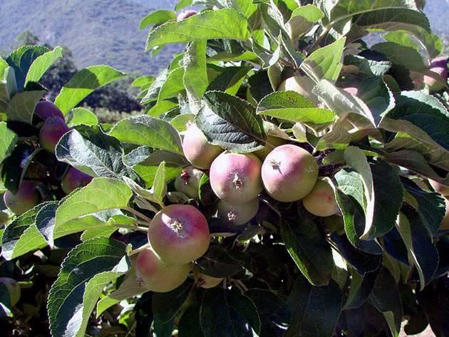 Выращивание корнесобственных саженцев яблони. корнесобственная яблоня какие яблони лучше корнесобственные или привитые