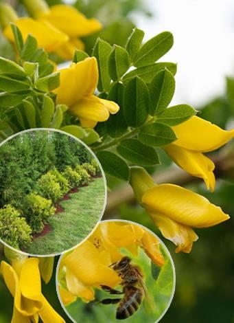 Акация желтая (карагана древовидная): описание, фото и видео