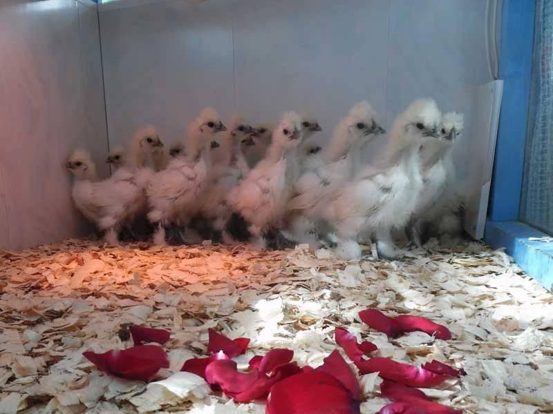 фото проверки крыльев цыплят на пол стилистом, посоветуйте модели