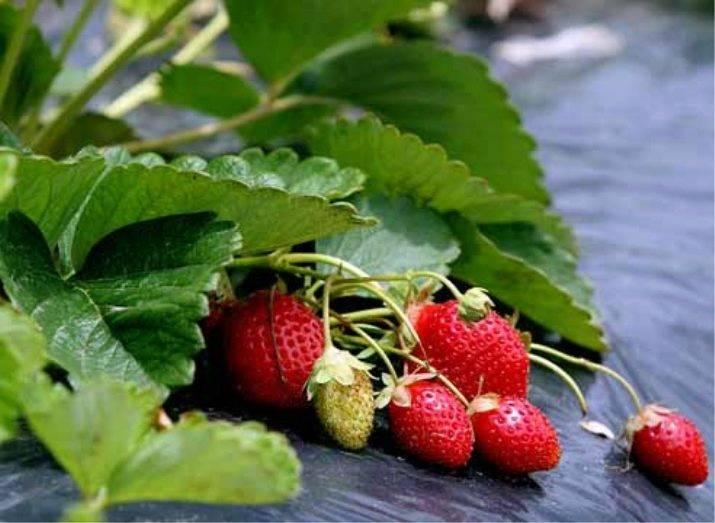 Лучшие и наиболее прибыльные способы выращивания клубники на дачном участке