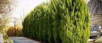 Можжевельник обыкновенный суецика (juniperus communis suecica)