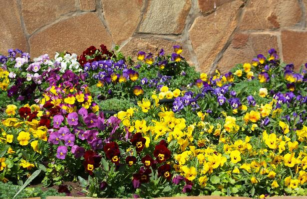 Как правильно высаживать рассаду однолетних цветов в грунт