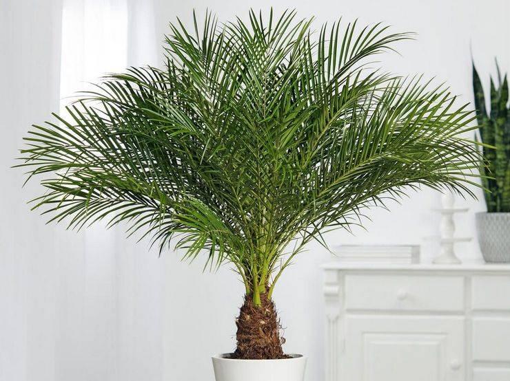 Финиковая пальма из косточки: легко ли её вырастить дома