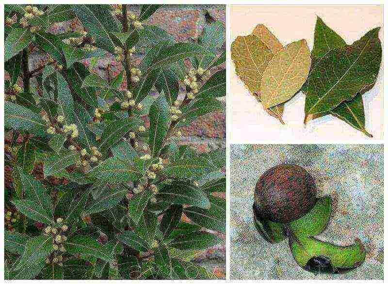 Лавровое дерево в домашних условиях: посадка, особенности выращивания, уход