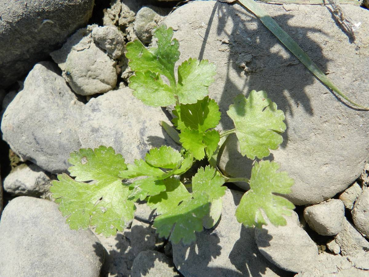 Особенности посадки семян кинзы в открытый грунт весной и дальнейший уход за культурой