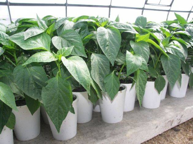 Перец: выращивание и уход в открытом грунте