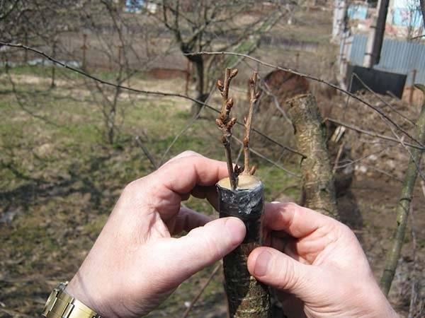 Прививка абрикоса — надёжный способ получения сортового дерева
