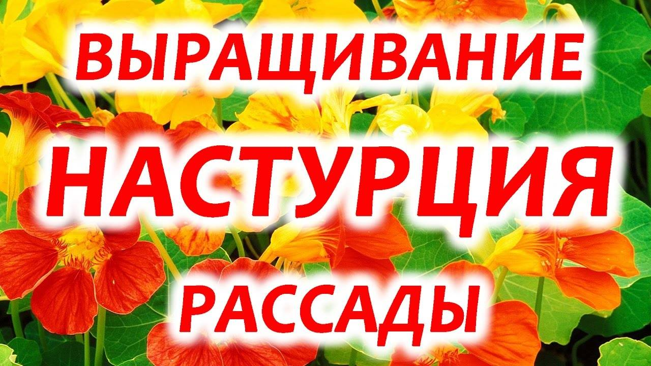 Капуцин или настурция: выращивание из семян, когда сажать декоративное растение и как за ним ухаживать