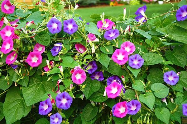 Украшаем свой участок необычной ипомеей пурпурной