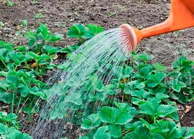 Нашатырный спирт в саду и огороде: замена дорогих удобрений и препаратов
