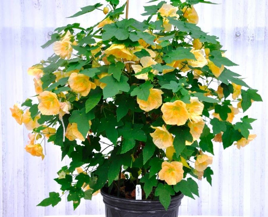 Абутилон гибридный: выращивание из семян, уход в домашних условиях