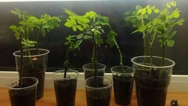 Советы цветоводам-любителям, как правильно посадить алоэ без корня