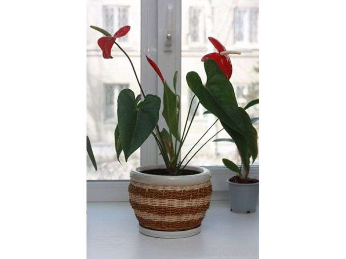 Как оживить погибающий антуриум. реанимируем гибнущее растение антуриум антуриум умирает что делать