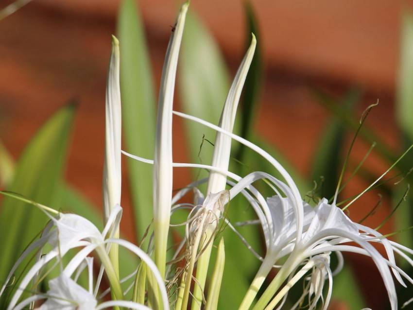 Особенности выращивания гименокаллиса в домашних условиях