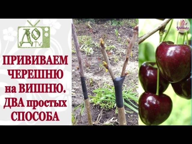 Прививка вишни – пошаговая инструкция для начинающего садовода