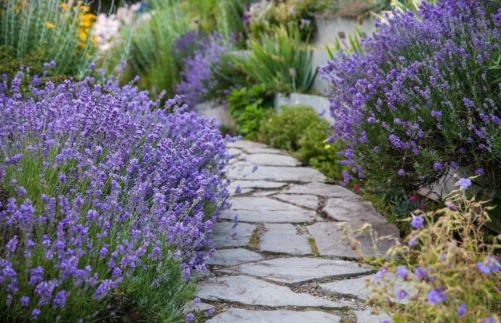 Ее величество, лаванда: посадка и уход за растением на даче