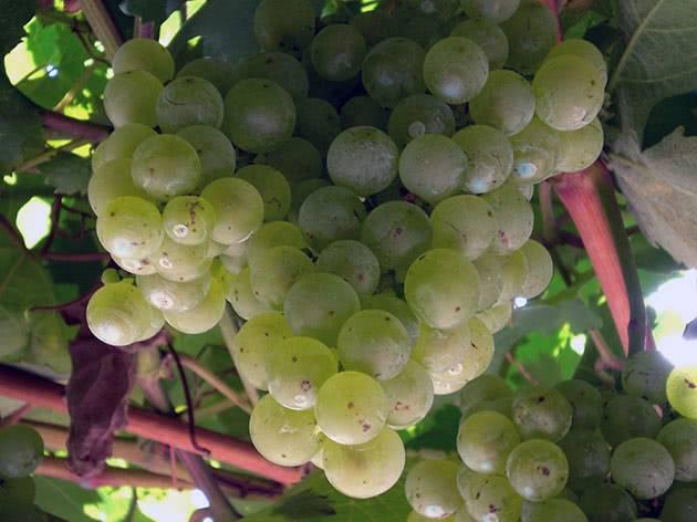 Технология выращивания винограда и правила по уходу