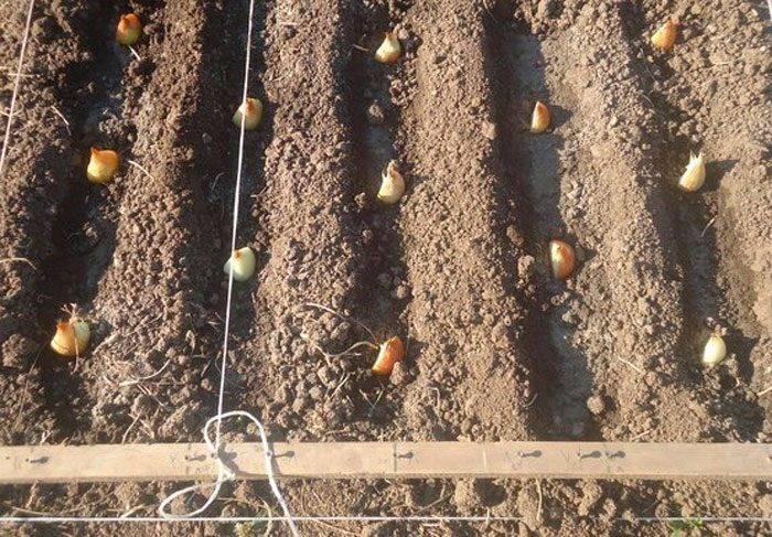 Лук шалот, выращивание и уход