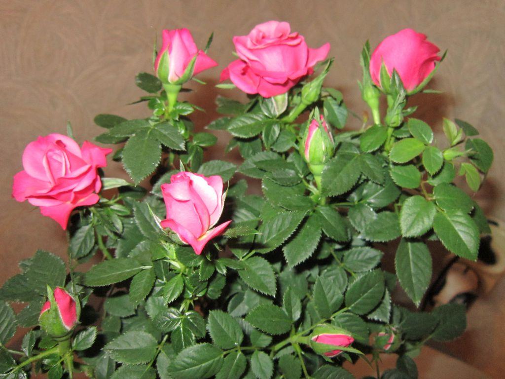 Пошаговая инструкция: как обрезать комнатную розу? нюансы процедуры и особенности ухода за растением