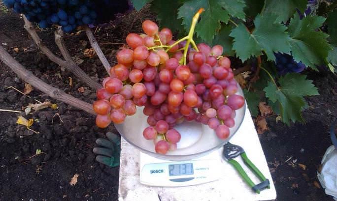 Виноград сорта анюта – шедевр любительской селекции