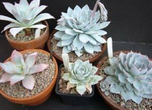 Все, что нужно знать о комнатном растении эхеверии