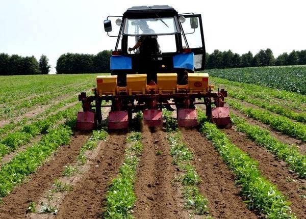 Огород без хлопот: посадка картофеля под солому