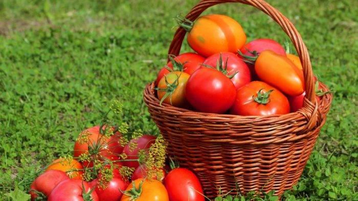 Лучшие сорта томатов для урала для теплиц и открытого грунта: проверено на собственном опыте