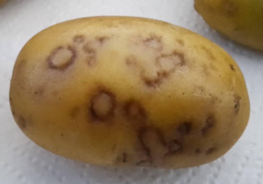 Вредители картофеля и борьба с ними, фото
