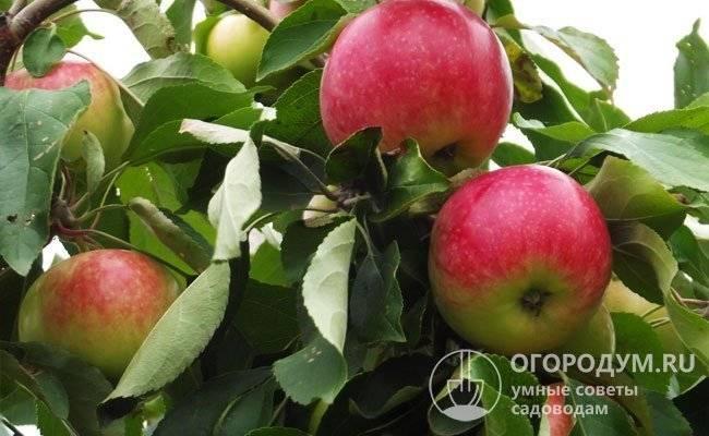 Отличный сорт яблок штрифель в вашем саду