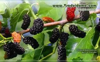 Сорта шелковицы с черными плодами: выращивание, уход, описание, характеристики и отзывы