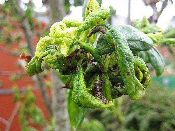 Что делать и чем обрабатывать листья яблони, если они скручиваются и краснеют