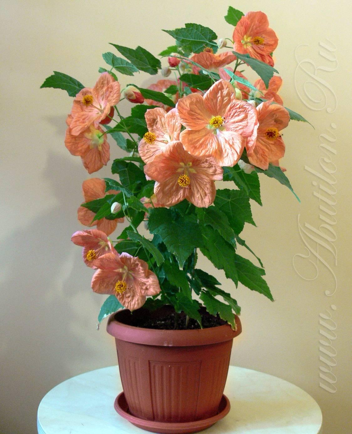 Способы размножения комнатного цветка абутилона