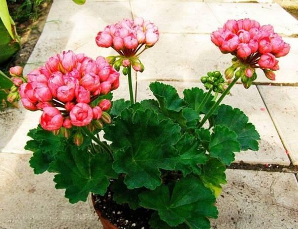Как ухаживать за тюльпановидной геранью, чтобы она пышно цвела круглый год