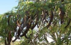 Как вырастить рожковое дерево