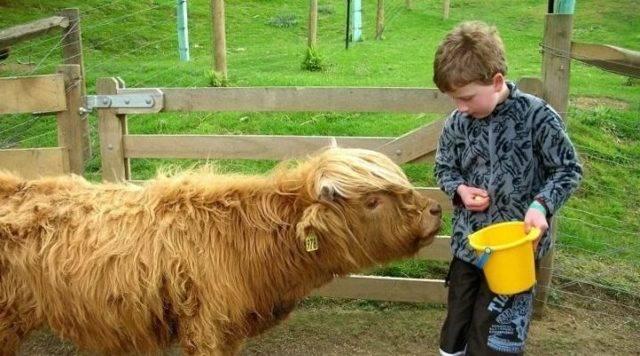 Покрыть быком или осеменить корову (все риски и выгода!)