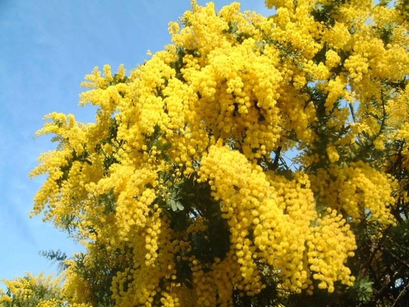 Вечнозеленое дерево акация серебристая (мимоза)