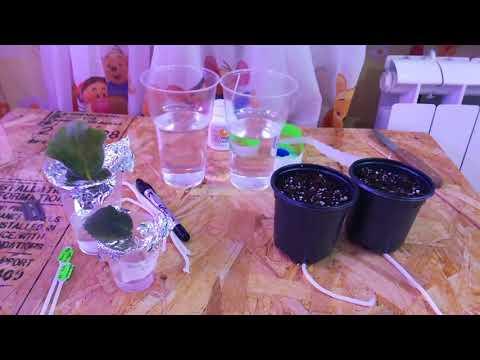 Фиттония микс: что такое, как выглядит и как ухаживать за цветком?